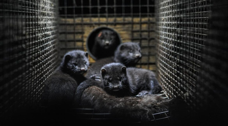 Mink in Dark Cage
